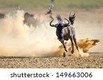 Blue Wildebeest Running On...