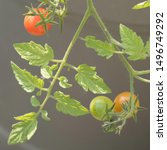 ripening cocktail tomatoes on a ... | Shutterstock . vector #1496749292