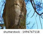 two cicadas sit on the trunk of ... | Shutterstock . vector #1496767118