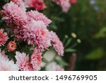 Pink Winter Chrysanthemum...