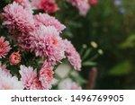 Pink Winter Chrysanthemum...