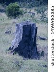 Blackened Cut Tree Stump With...