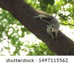 Squirrel On Tree Squirrel Lyin...