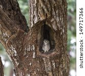 A Spotted Owlet Perching On A...