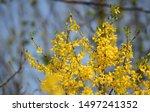 Easter Tree  Forsythia   ...