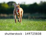 Stock photo pit bull terrier 149725838