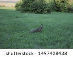 Stock photo large grey hare stretches out on the lawn 1497428438