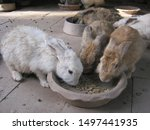 Stock photo feeding rabbits cute young rabbits are eating readymade rabbit food from a tray in rabbits farm 1497441935