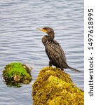 A Cormorant Resting On Seaweed...
