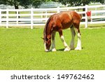 Young Clydesdale Grazing