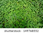 Bed Of Bright Green Red Sorrel...
