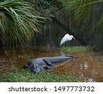 Alligator With White Great...