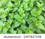 Fresh Green Spearmint In The...