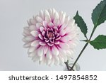Single Blossom Of A Dahlia  Th...
