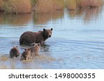 Momma Bear With Cubs Family Of...