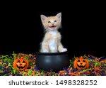 Stock photo adorable blue eyed orange buff kitten meowing sitting in a cauldron with happy jack o lanterns 1498328252