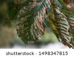 BATH, UNITED KINGDOM – September 07, 2019: Horse Chestnut tree infested with leaf miner moth trails in Bath in the early autumn.