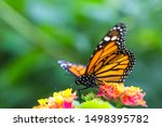 The Monarch Butterfly Or Simply ...