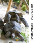 Stock photo two aldabra giant tortoises are breeding it is from the islands of the aldabra atoll in the 1498421585