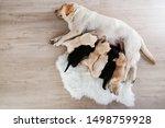 Stock photo labrador dog feeding her puppies at home 1498759928