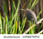 Green Heron Fishing In The...