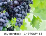 Ripe bunches of grapes on the...