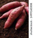 Sweet Potato With Soil...