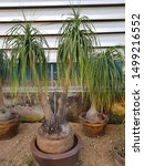 Beautiful Ponytail Palm Tree...