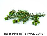 Blooming Fir Branch Isolated O...