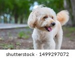Small photo of puppy dog, poodle terrier walking on park, Cute white poodle terrier, relax pet, poodle terrier mix, dog standing looking, animal funny
