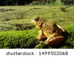 A Male Green Frog Sits On A...