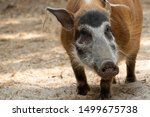 Red River Hogs Are Omnivores...
