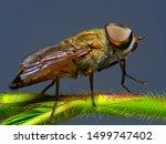 Horsefly  Tabanidae  Super...
