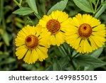 Common Sneezeweed  Helenium...