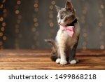 Wonderful Metis Cat With Gray...