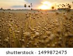 Detail On Flax Plants  Linum...