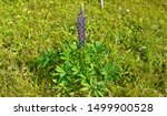 the Texas lupine is a species of lupine endemic to Texas as well as the Mexican States of Coahuila, Nuevo Leon and Tamaulipas. With other related varieties of lupine. the state flower of Texas.