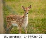 Spotted Roe Deer Grazing In...
