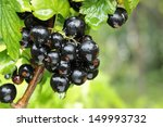 Black Currant Branch With...