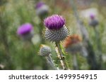 Thistle Flowers  Grow In The...