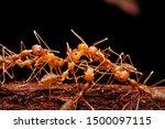 eating beaver ant weaver ants...