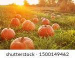 Field With Orange Pumpkins At...