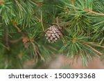 Pine Cone. Beautiful Pine Cone...