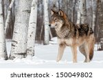 Small photo of Grey Wolf (Canis lupus) Stands Towards Left - captive animal