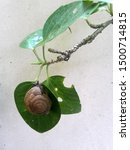 A Garden Snail Perched On A...