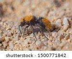 Velvet Ant  Wingless Wasp...