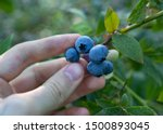 Male Hand Picking Blueberries...