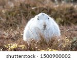 Stock photo without snow the white mountain hare on the cairngorms are exposed to photographer and more 1500900002