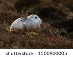 Stock photo without snow the white mountain hare on the cairngorms are exposed to photographer and more 1500900005