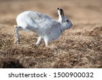 Stock photo without snow the white mountain hare on the cairngorms are exposed to photographer and more 1500900032